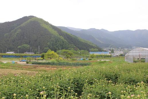 中野 芍薬 006.jpg
